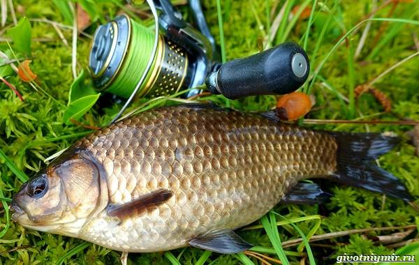 Рыбалка-на-карася-по-открытой-воде-и-со-льда-3