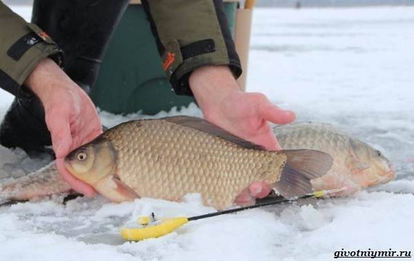 Рыбалка-на-карася-по-открытой-воде-и-со-льда-9
