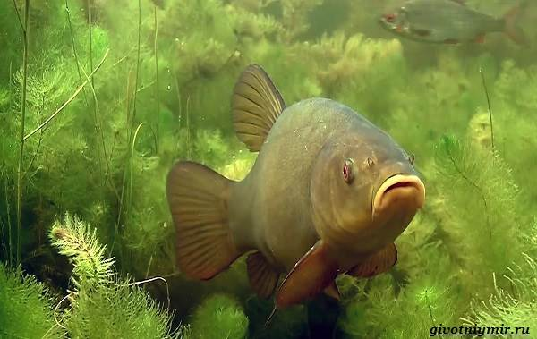 Рыбалка-на-линя-по-открытой-воде-и-со-льда-1