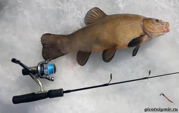 Рыбалка-на-линя-по-открытой-воде-и-со-льда-11