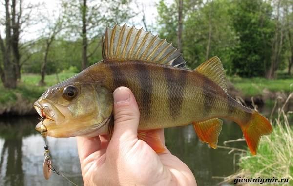 Рыбалка-на-окуня-по-открытой-воде-и-со-льда-1