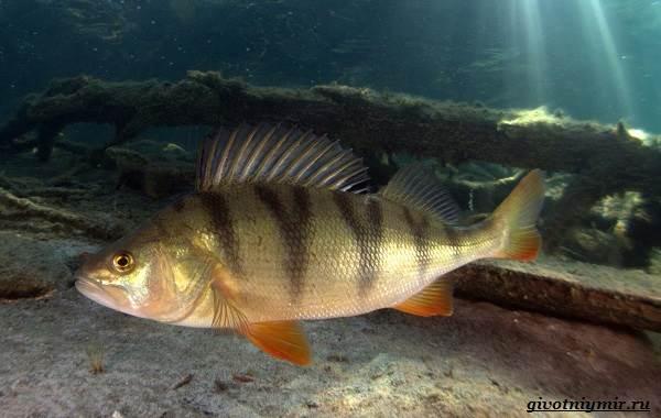 Рыбалка-на-окуня-по-открытой-воде-и-со-льда-10