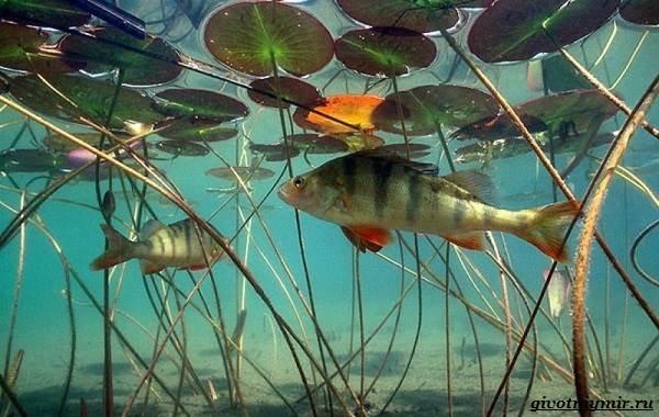 Рыбалка-на-окуня-по-открытой-воде-и-со-льда-13