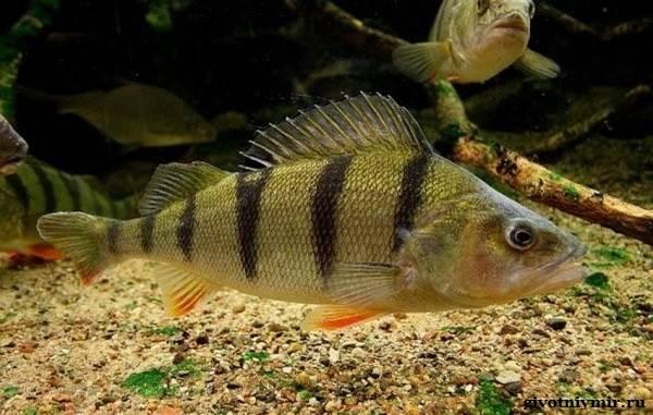 Рыбалка-на-окуня-по-открытой-воде-и-со-льда-14