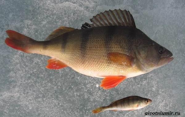 Рыбалка-на-окуня-по-открытой-воде-и-со-льда-17
