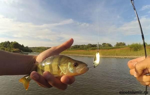 Рыбалка-на-окуня-по-открытой-воде-и-со-льда-20
