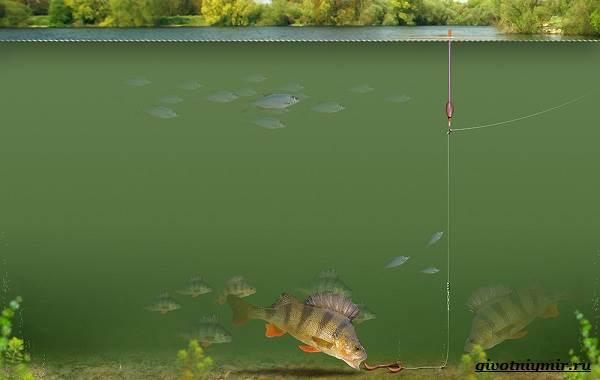 Рыбалка-на-окуня-по-открытой-воде-и-со-льда-21