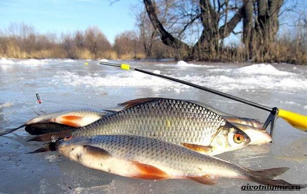 Рыбалка-на-плотву-в-разные-сезоны-и-различными-способами-10
