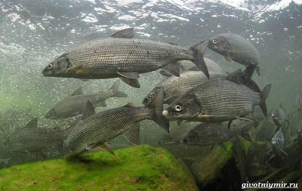 Рыбалка-на-сига-где-его-искать-какие-снасти-и-наживку-использовать-1