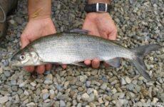 Рыбалка на сига, где его искать, какие снасти и наживку использовать