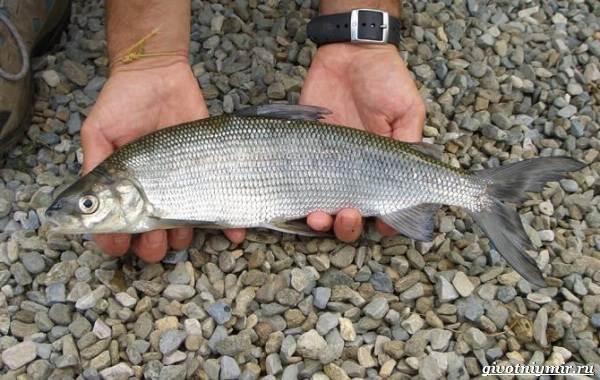 Рыбалка-на-сига-где-его-искать-какие-снасти-и-наживку-использовать-2