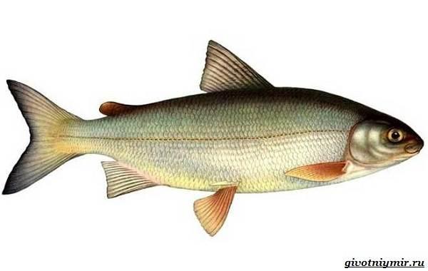 Рыбалка-на-сига-где-его-искать-какие-снасти-и-наживку-использовать-3