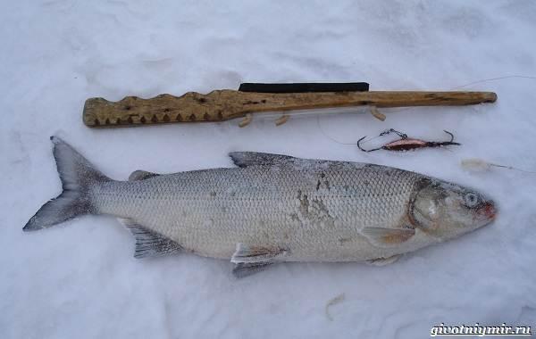 Рыбалка-на-сига-где-его-искать-какие-снасти-и-наживку-использовать-5