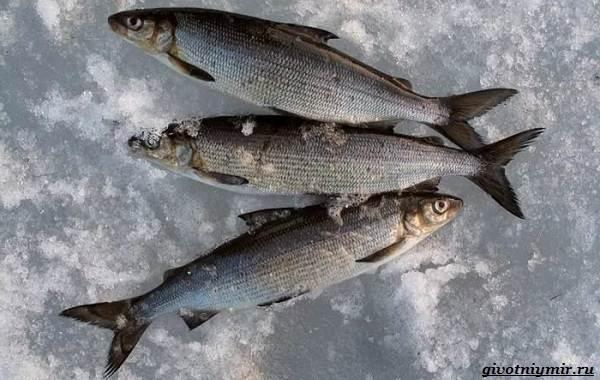 Рыбалка-на-сига-где-его-искать-какие-снасти-и-наживку-использовать-6