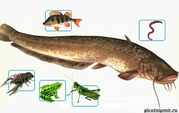 Рыбалка-на-сома-Где-его-искать-какую-использовать-наживку-и-снасти-6