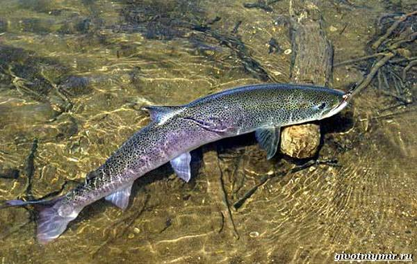 Рыбалка-на-тайменя-по-открытой-воде-и-зимняя-ловля-3