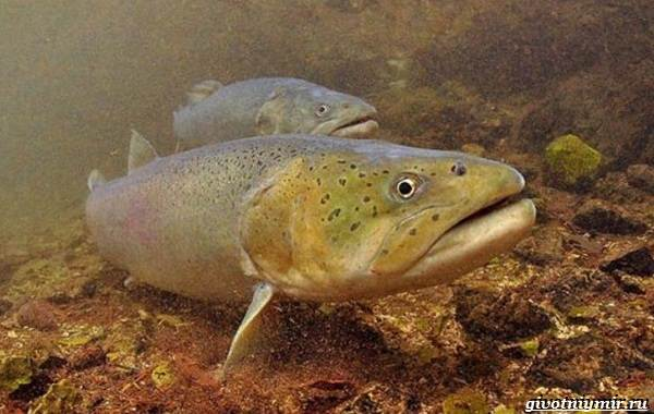 Рыбалка-на-тайменя-по-открытой-воде-и-зимняя-ловля-6
