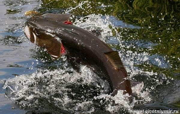 Рыбалка-на-тайменя-по-открытой-воде-и-зимняя-ловля-7