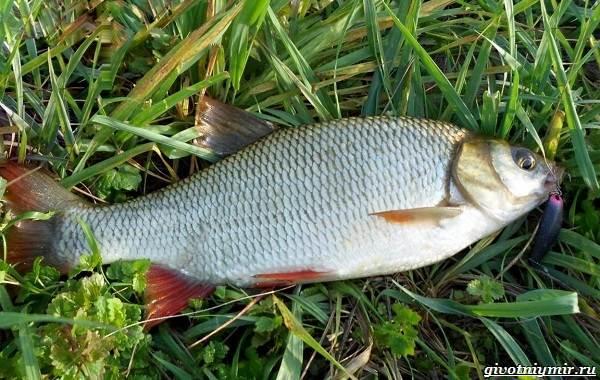 Рыбалка-на-язя-весной-и-летом-1