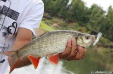 Рыбалка на язя весной и летом