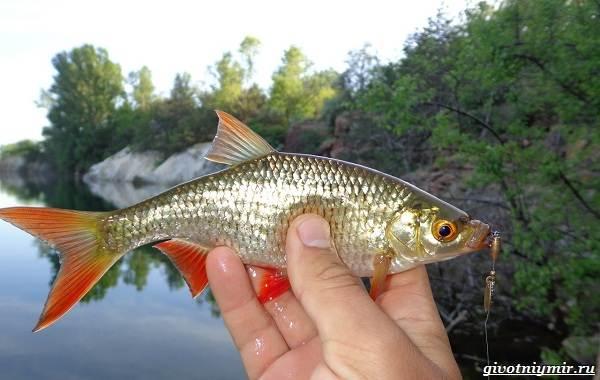 Рыбалка-на-язя-весной-и-летом-6