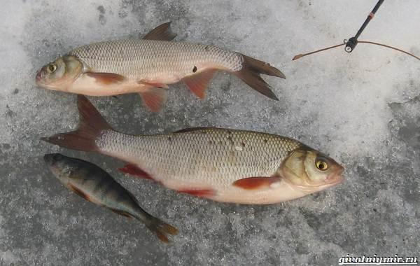 Рыбалка-на-язя-весной-и-летом-7