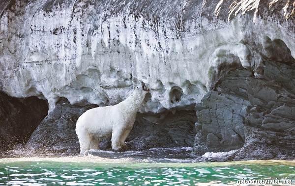 Животные-острова-Врангеля-их-особенности-и-образ-жизни-1