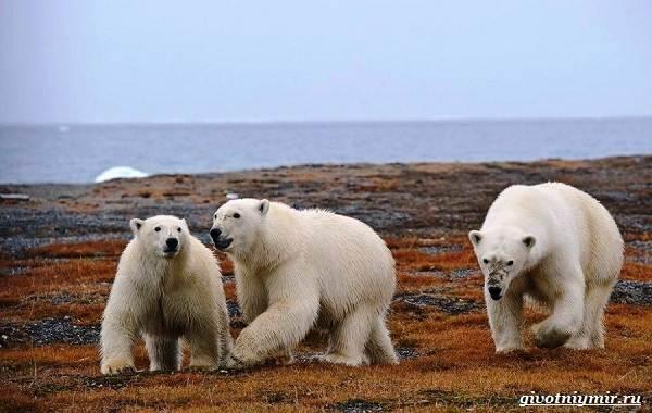 Животные-острова-Врангеля-их-особенности-и-образ-жизни-3