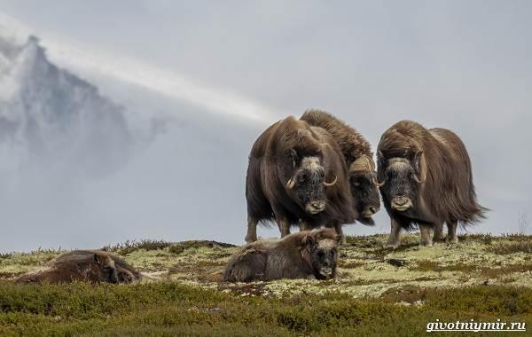 Животные-острова-Врангеля-их-особенности-и-образ-жизни-5
