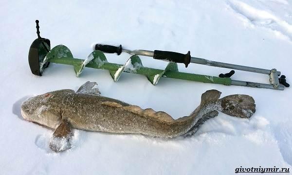 Зимняя-рыбалка-на-налима-где-искать-и-на-что-клюет-3