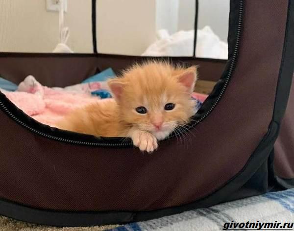 История-о-больном-котёнке-который-превратился-в-роскошного-кота-1