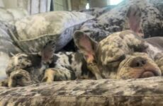 История о двух собаках, которых сложно отличить от диванной обивки