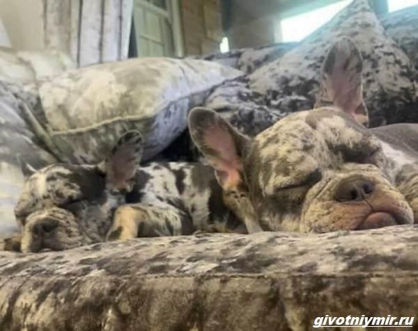 История-о-двух-собаках-которых-сложно-отличить-от-диванной-обивки-1