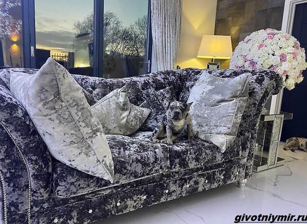 История-о-двух-собаках-которых-сложно-отличить-от-диванной-обивки-4
