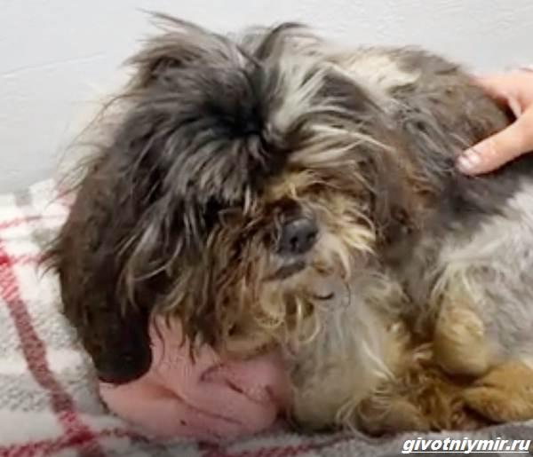 История-о-лохматой-собаке-которая-превратилась-в-красивого-питомца-1