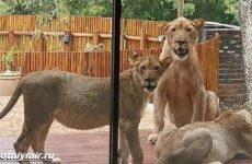 История о львах, проникших в дом в отсутствие хозяев