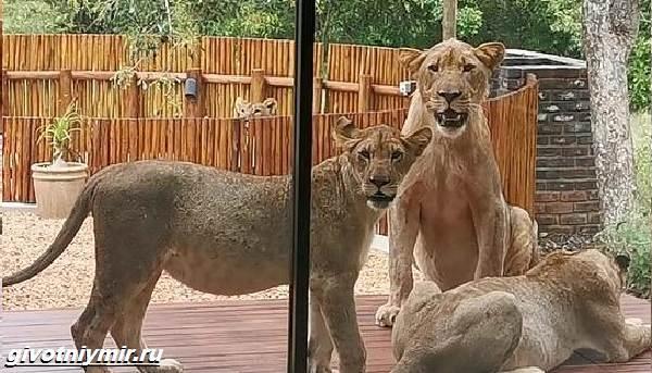 История-о-львах-проникших-в-дом-в-отсутствие-хозяев-1