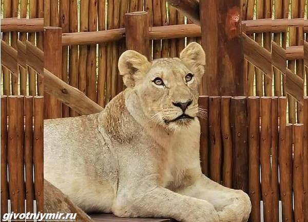 История-о-львах-проникших-в-дом-в-отсутствие-хозяев-2