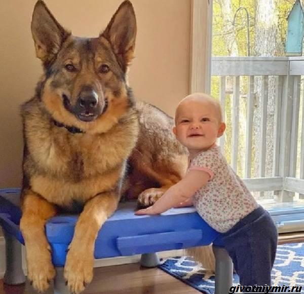 История-о-полицейской-собаке-которая-стала-няней-для-маленькой-девочки-4