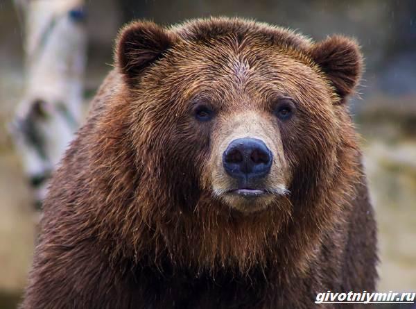 История-о-собаках-которые-спасли-хозяйку-от-медведя-2