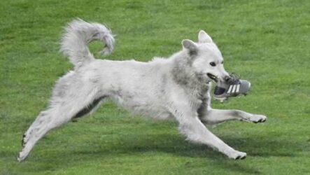 История о собаке, которая выскочила на футбольное поле и стала знаменитой