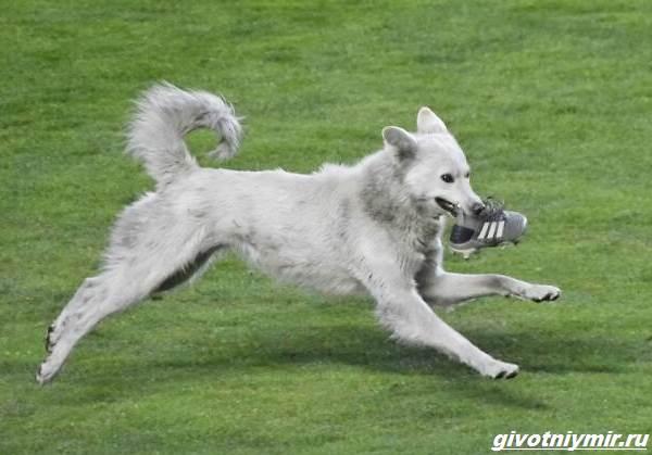 История-о-собаке-которая-выскочила-на-футбольное-поле-и-стала-знаменитой-1