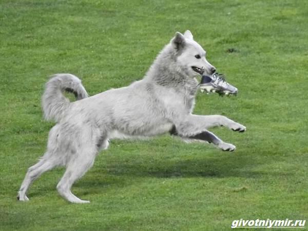 История-о-собаке-которая-выскочила-на-футбольное-поле-и-стала-знаменитой-2