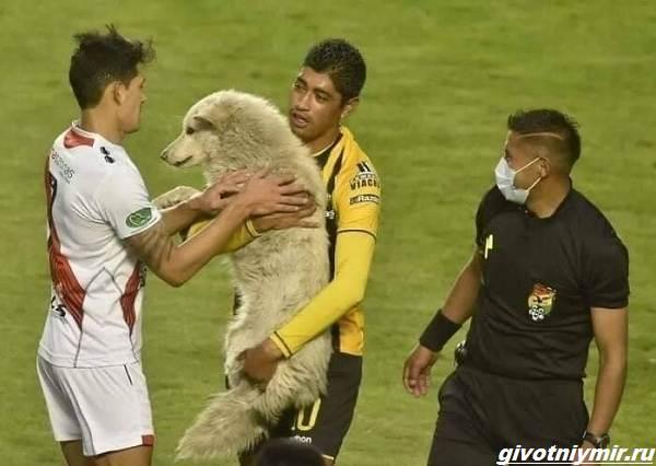 История-о-собаке-которая-выскочила-на-футбольное-поле-и-стала-знаменитой-3