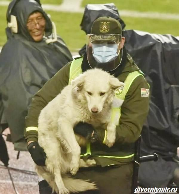 История-о-собаке-которая-выскочила-на-футбольное-поле-и-стала-знаменитой-4