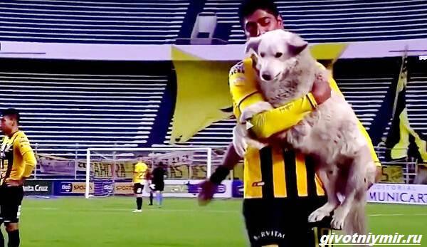 История-о-собаке-которая-выскочила-на-футбольное-поле-и-стала-знаменитой-6