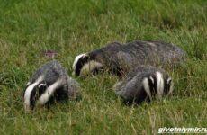 Охота на барсука и её особенности