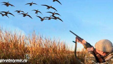 Охота на гуся и её особенности