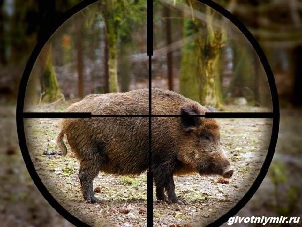 Охота-на-кабана-разными-способами-6