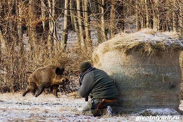 Охота-на-кабана-разными-способами-9
